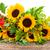 zonnebloemen · grens · witte · bloem · tuin · zomer - stockfoto © neirfy