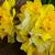 нарциссов · ярко · свежие · весны - Сток-фото © neirfy