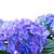 sınır · mavi · çiçekler · yalıtılmış · beyaz · çiçek - stok fotoğraf © neirfy