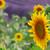 zonnebloem · Frankrijk · bloemen · natuur · Blauw · planten - stockfoto © neirfy