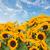 tournesols · vase · bouquet · jaune · métal · fleurs - photo stock © neirfy