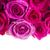 fresco · rosas · fronteira · rosa · belo · isolado - foto stock © neirfy