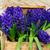 primavera · jacinto · flores · rosa · jardim · folha - foto stock © neirfy