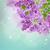 紫色 · ライラック · 茂み · 日 · 市 - ストックフォト © neirfy