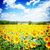 amarelo · campo · girassóis · verão · dia · flor - foto stock © neirfy