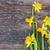 Geel · narcissen · oude · houten · Pasen · bloem - stockfoto © neirfy