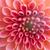 roze · dahlia · bloem · bloeien · bloemen · achtergrond - stockfoto © neirfy