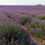 lavendel · veld · lavendel · bloemen · veld · vers - stockfoto © neirfy