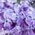 lilac flowers close up stock photo © neirfy