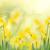narcissen · voorjaar · tuin · gras · gazon · Geel - stockfoto © neirfy