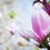 manolya · ağaç · bahar · çiçek · doğa - stok fotoğraf © neirfy
