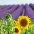 подсолнечника · лаванды · цветы · области · природы - Сток-фото © neirfy