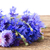 blue cornflowers on white stock photo © neirfy