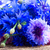 blue cornflowers close up stock photo © neirfy