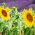 подсолнечника · лаванды · свежие · цветы · области - Сток-фото © neirfy