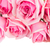 frischen · rosa · Rosen · Grenze · isoliert · weiß - stock foto © neirfy