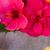 гибискуса · цветок · кадр · цветы · изолированный - Сток-фото © neirfy