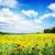 подсолнухи · пейзаж · горизонтальный · выстрел · красивой · подсолнечника - Сток-фото © neirfy