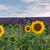 подсолнечника · Франция · цветы · природы · синий · растений - Сток-фото © neirfy