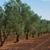 olijfboom · Italië · Toscane · gras · natuur · vruchten - stockfoto © neirfy