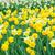 giallo · tulipani · crescita · verde · argilla · foglia - foto d'archivio © neirfy