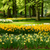 daffodils in spring garden stock photo © neirfy