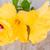 границе · красочный · гибискуса · цветы · изолированный · белый - Сток-фото © neirfy
