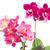 fresco · rosa · orquídea · pote · cor · de · malva · azul - foto stock © neirfy