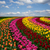 dutch colorful tulips fields in sunny day stock photo © neirfy