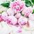 pink peony flowers with key stock photo © neirfy