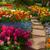 florescimento · flor · jacinto · pote · decorado · musgo - foto stock © neirfy