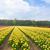 hollanda · sarı · lâle · alanları - stok fotoğraf © neirfy