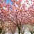 rózsaszín · sakura · virágok · tavasz · cseresznye · fa - stock fotó © neirfy