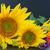 automne · tournesols · citrouille · lumineuses · brut · orange - photo stock © neirfy