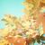 yellow maple in autumn park stock photo © neirfy