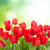 fresh red tulip flowers stock photo © neirfy