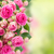 border of fresh pink roses close up stock photo © neirfy