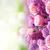 сирень · закрывается · цветы · границе · Purple · розовый - Сток-фото © neirfy