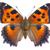 small tortoiseshell butterfly stock photo © neirfy