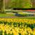 holandês · amarelo · tulipas · parque · holandês · flor - foto stock © neirfy