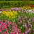 multicolored tulips flowerbeds stock photo © neirfy