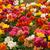 красивой · желтый · оранжевый · тюльпаны - Сток-фото © neirfy