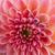 roze · dahlia · bloem · geïsoleerd · witte - stockfoto © neirfy