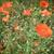 rojo · amapola · flores · campo · verano - foto stock © neirfy