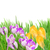 spring crocuses in grass stock photo © neirfy