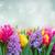 tulpen · roze · Blauw · bloemen · tuin · bokeh - stockfoto © neirfy