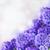 blue hyacinth stock photo © neirfy