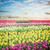 hollanda · renkli · lale · alanları · alan - stok fotoğraf © neirfy