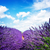 lavender field at summer stock photo © neirfy