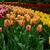 witte · tulp · veld · gele · bloemen · holland · voorjaar - stockfoto © neirfy